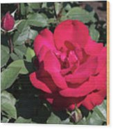 Blooming Rose With New Rose In Garden Wood Print