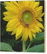 Blooming Sunflower Closeup Wood Print