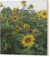 Blooming Sunflowers Wood Print