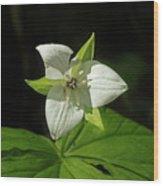 Blooming Trillium Wood Print