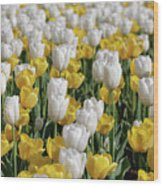 Blooming Tulips As Far As The Eye Can See Wood Print