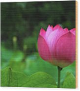 Blossoming Lotus Flower Closeuop Wood Print
