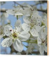 Blossoms Art Prints Whtie Spring Tree Blossoms Blue Sky Baslee Wood Print
