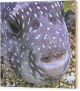 Blow Fish Close-up Wood Print