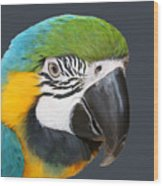 Blue And Gold Macaw Digital Freehand Painting Wood Print