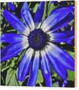 Blue And White African Daisy Wood Print