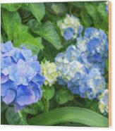 Blue And Yellow Hortensia Flowers Wood Print