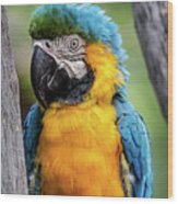 Blue And Yellow Macaw Portrait  Wood Print