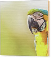 Blue And Yellow Macaw With Copy Space Wood Print