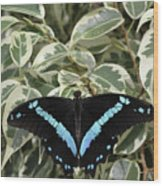 Blue-banded Swallowtail Butterfly Wood Print