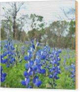 Blue Bonnet Explosion II Wood Print