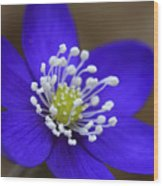 Blue Buttercup Wood Print by Romeo Koitmae