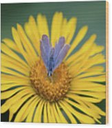 Blue Butterfly On Alpine Sunflower Wood Print