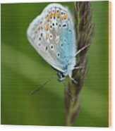 Blue Butterfly On Grass Wood Print