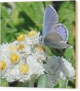 Blue Butterfly On White Flowers Wood Print