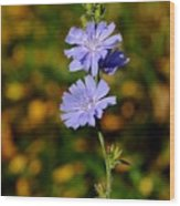 Blue Chicory 2 Wood Print