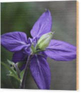 Blue Columbine Squared 1 Wood Print