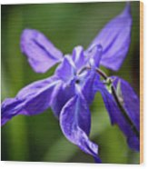 Blue Columbine Wood Print