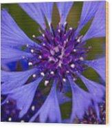 Blue Cornflower Wood Print