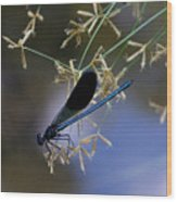 Blue Damsfly Wood Print