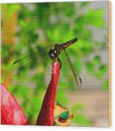 Blue Dasher Damselfly Wood Print