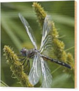 Blue Dasher Dragonfly-female Wood Print