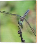 Blue Dasher Dragonfly On A Branch Wood Print