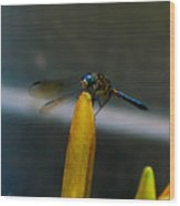 Blue Dhasher Dragonfly Wood Print