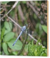 Blue Dragon Fly  Wood Print