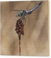 Blue Dragonfly On Brown Reed Wood Print