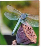 Blue Dragonfly On Lotus Seed Pod Back View Wood Print