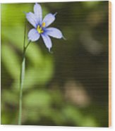 Blue-eyed Grass IIi Wood Print