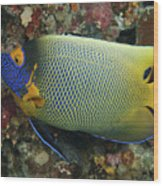 Blue Face Angelfish Wood Print