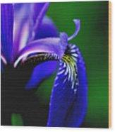 Blue Flag Iris Wood Print