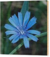 Blue Chicory Flower Wood Print