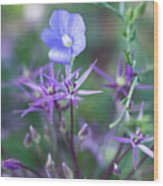 Blue Flax Wildflower With Purple Allium In Foreground Wood Print