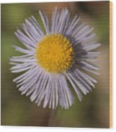 Blue Fleabane Wood Print