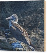 Blue-footed Booby Prize Wood Print