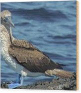 Blue-footed Booby  Puerto Egas James Bay Santiago James Island Galapagos Islands Wood Print