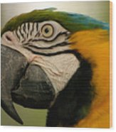 Blue Gold Macaw South America Wood Print