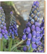 Blue Grape Hyacinths Wood Print