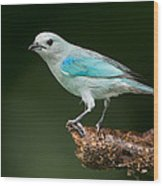 Blue-gray Tanager Thraupis Episcopus Wood Print