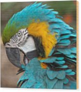 Blue-green-yellow Macaw Wood Print