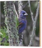 Blue Grosbeak In A Mangrove Wood Print