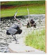 Blue Heron Mating Dance Wood Print