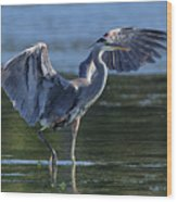 Blue Heron Show-off Wood Print