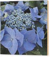 Blue Hydrangea Buds Wood Print