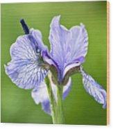 Blue Iris Germanica Wood Print by Frank Tschakert