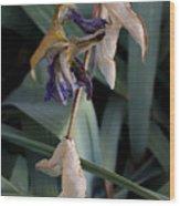 Blue Irises Past Their Prime Wood Print