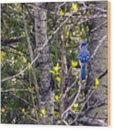 Blue Jay 2 Wood Print